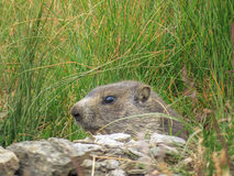 Alpine marmot (Marmota marmota) Royalty Free Stock Photo