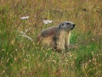 Alpine marmot (Marmota marmota) Royalty Free Stock Images