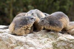 Alpine marmot, Marmota Marmota, one of the big rodent Royalty Free Stock Photography