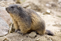 Alpine marmot, Marmota Marmota, one of the big rodent Stock Image
