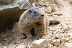 Alpine marmot, Marmota Marmota, one of the big rodent. One Alpine marmot, Marmota Marmota, one of the big rodent Stock Images