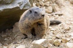 Alpine marmot, Marmota Marmota, one of the big rodent Stock Images