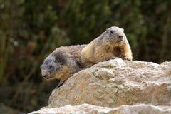 Alpine marmot, Marmota Marmota, one of the big rodents Royalty Free Stock Photos