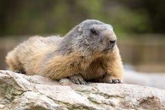 Alpine marmot, Marmota Marmota, one of the big rodents Stock Photos