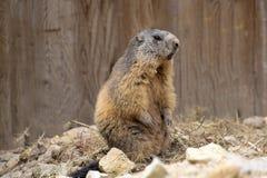 Alpine marmot, Marmota Marmota, one of the big rodents Stock Image