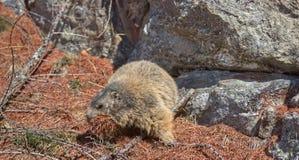 Marmot collecting pine needles. Alpine Marmot (Marmota marmota) picking up brown pine needles stock image