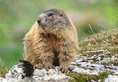 Alpine marmot Marmota marmota. Portrait on the rocks Stock Image