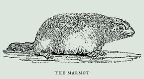 The alpine marmot marmota marmota in profile view. Illustration. The alpine marmot marmota marmota in profile view after an antique or vintage woodcut engraving Stock Photos