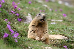 Alpine Marmot (Marmota marmota) in spring. Alpine marmot showing teeth in spring, with flowers. Italy, Orobic alps Royalty Free Stock Image