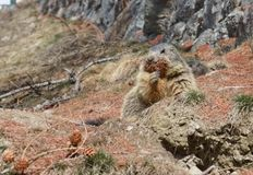 Marmot collecting pine needles royalty free stock photography