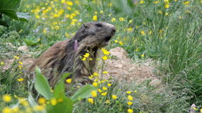 Alpine marmot (Marmota marmota)whistling. stock video