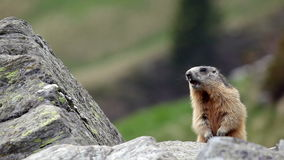 Alpine marmot (Marmota marmota) whistling. stock video footage