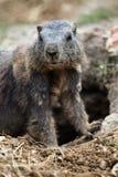 Alpine marmot (Marmota marmota). Stock Image