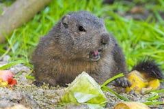 Alpine marmot (Marmota marmota) Royalty Free Stock Image