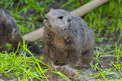 Alpine marmot (Marmota marmota) Stock Images