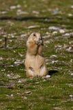 Alpine marmot, marmota marmota, in the zoo royalty free stock photography