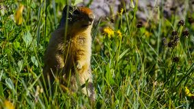 The alpine marmot Marmota marmota is a species of marmot found in mountainous areas of central and southern Europe stock photo