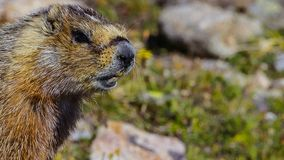 The alpine marmot Marmota marmota is a species of marmot found in mountainous areas of central and southern Europe stock photos