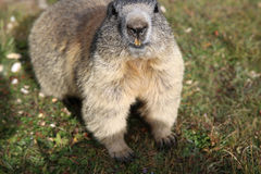 Alpine Marmot Royalty Free Stock Images