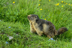 Alpine marmot Stock Photo