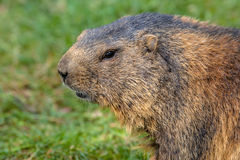 Alpine marmot portrait Stock Photo