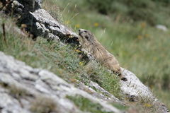 Alpine marmot. In Pyrenees , Marmota marmota Royalty Free Stock Photos