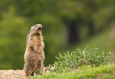 An Alpine Marmot raising the alarm Stock Image