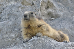 Alpine marmot on the roch. Alpine marmot Marmota marmota lying on the rock at La Plagne in the French Alps, Savoie department Royalty Free Stock Photos