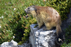 Alpine marmot on rock Royalty Free Stock Photography