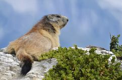 Alpine marmot on the rock Royalty Free Stock Photography