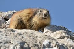 Alpine marmot on rock Royalty Free Stock Photography