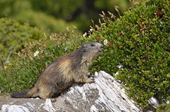 Alpine marmot on rock. Alpine marmot (Marmota marmota) on rock, in the French Alps, Savoie department at La Plagne Stock Image