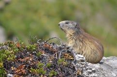Alpine marmot on rock Royalty Free Stock Images