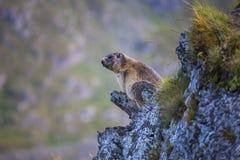 Alpine marmot on the rock royalty free stock image