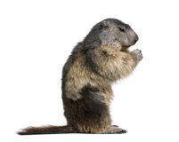 Alpine Marmot sitting against white background. Alpine Marmot, Marmota marmota, 4 years old, sitting in front of white background, studio shot Stock Image