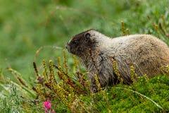 Alpine marmot sitting in a green meadow. In mount rainier paradise skyline trail stock images