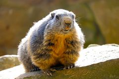 Alpine marmot sitting on a rock showing teeth in the bright sun in frontal view. Alpine marmot marmota marmota sitting on a rock showing teeth in the bright sun stock image