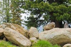 Alpine Marmot sitting on rock during summer in Austria, Europe Royalty Free Stock Photo