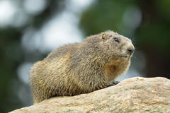 Alpine Marmot sitting on rock during summer in Austria, Europe Royalty Free Stock Image