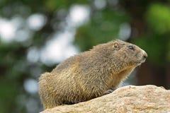 Alpine Marmot sitting on rock during summer in Austria, Europe Royalty Free Stock Image