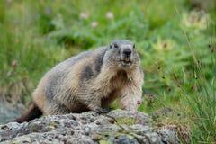 Alpine marmot sitting on a stone looking at camera stock photos