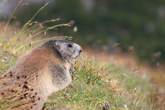 Alpine Marmot. At Swiss Alps. Europe stock photography