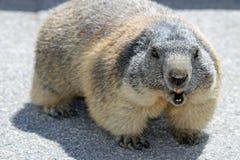 Alpine Marmot. At Swiss Alps. Europe stock photo