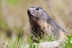 Alpine marmot in wild Stock Photography