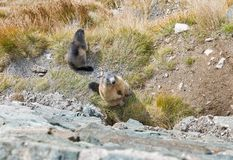 Alpine marmots on autumn mountain slope. Kaiser Franz Joseph glacier, Grossglockner High Alpine Road in Austrian Alps Royalty Free Stock Photography