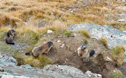 Alpine marmots on autumn mountain slope. Kaiser Franz Joseph glacier, Grossglockner High Alpine Road in Austrian Alps Stock Image