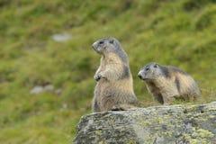 Alpine marmot couple. Alpine marmots, Marmota marmota, couple, Hohe Tauern National Park, Austria, Europe stock photos