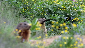 Alpine marmots (Marmota marmota). Two alpine marmots near their burrow in late spring, frontmost is blurred and still, the other in the background is in focus stock video