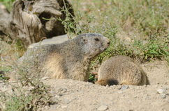 Alpine marmots Stock Photo