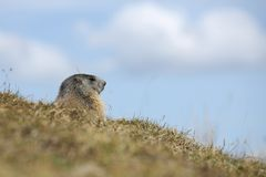 Alpine marmrot. Details of a beautiful Alpine marmot in nature stock photography